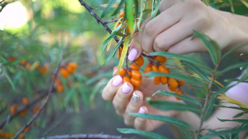 Female hands harvested sea buckthorn close up. Ripe sea-buckthorn harvesting. | Shutterstock HD Video #1036219463