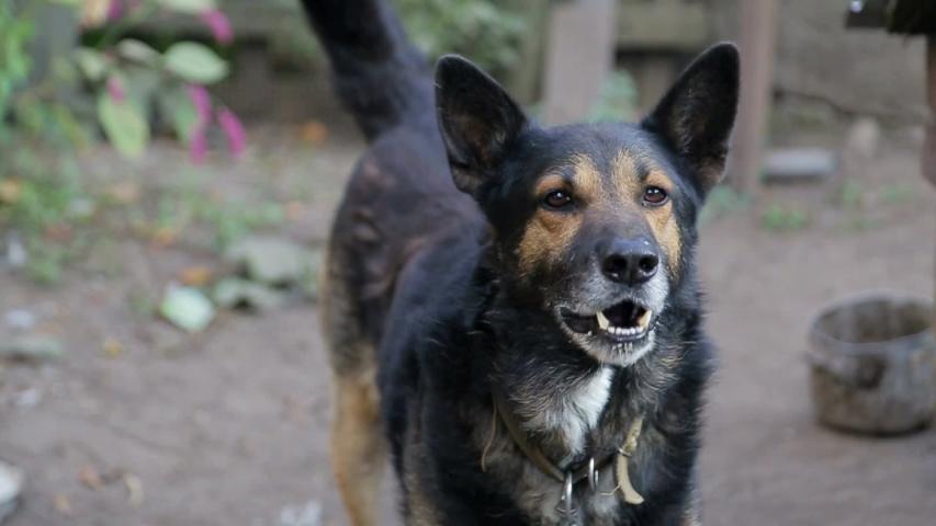 Angry dog with naked teeth, frantic dog
