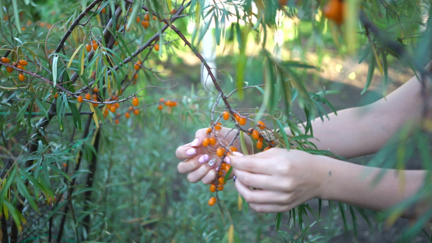Female hands harvested sea buckthorn close up. Ripe sea-buckthorn harvesting. | Shutterstock HD Video #1036267028