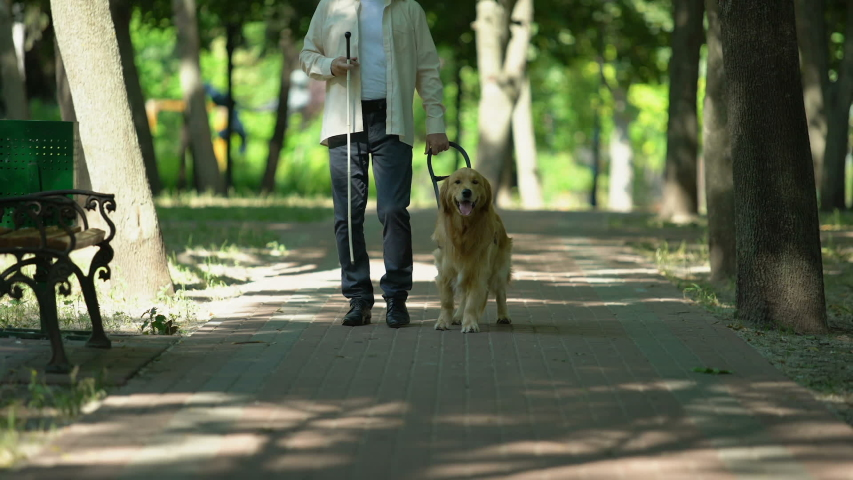 Blind man holding guide dog harness, safely walking with trained pet in park