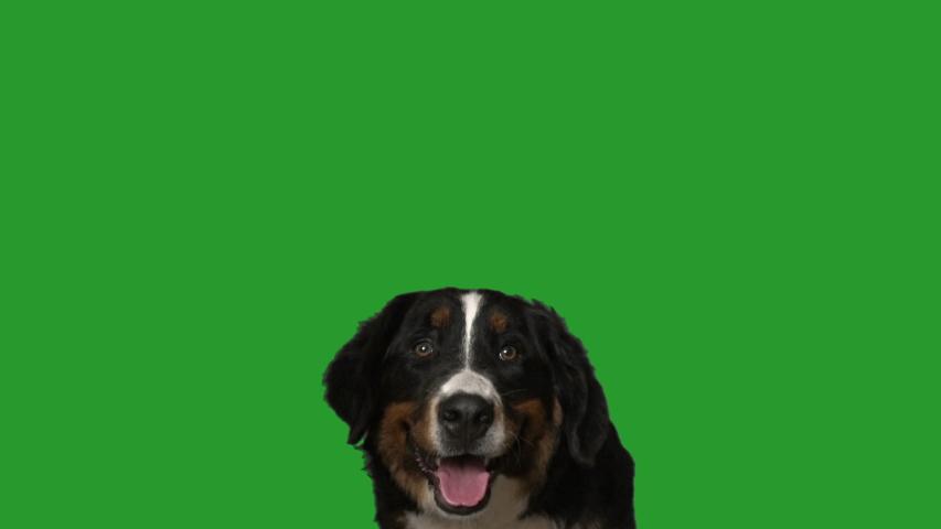 Bernese mountain dog portrait on green screen