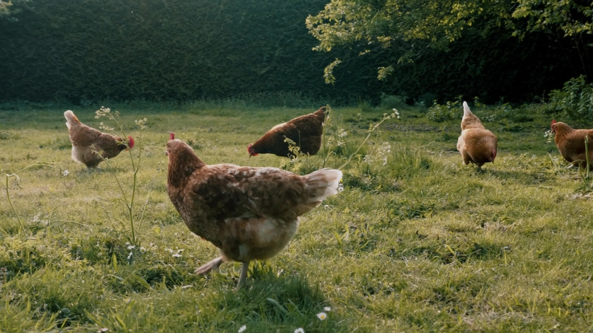 German Chickens eating grains on free range farm with green gras