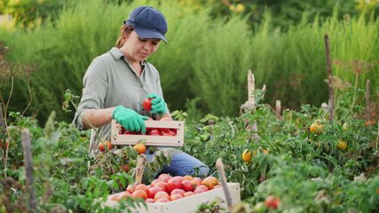Girl farmer picks ripe red tomatoes and puts them in a wooden box in a vegetable garden. Slow-motion 4k video. Harvesting tomato