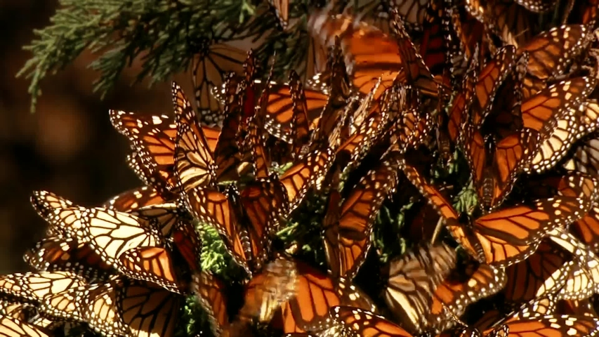 CIRCA 2010s - A large group of newly born Monarch butterflies begin to fly and rest on a pine tree