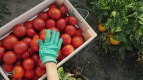 Top view woman picks a crop of tomatoes and puts them in a wooden box in a vegetable garden. Harvesting in the field, organic products. Slow-motion 4k video