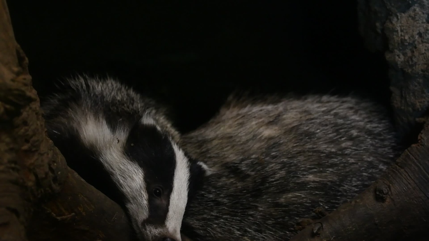 Two European badgers (Meles meles) entering den / sett / burrow with sleeping juveniles in forest