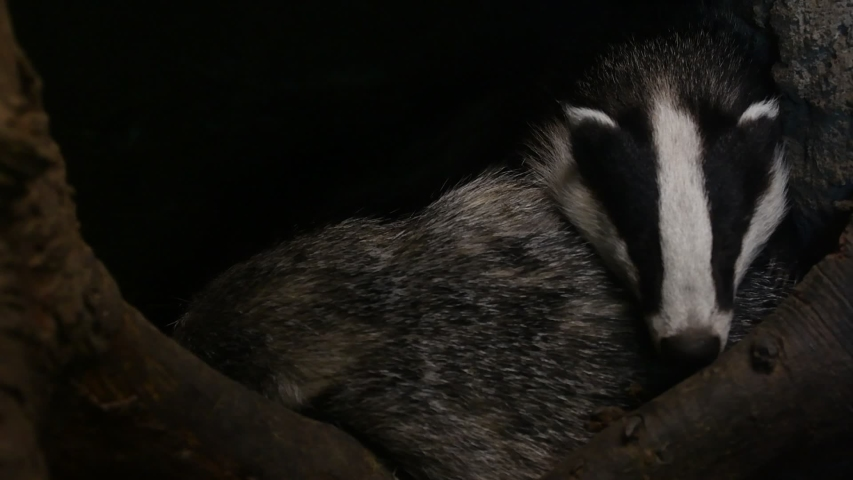 European badger (Meles meles) sleeping in den / sett / burrow in forest