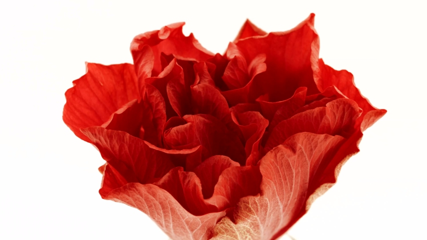 Beautiful opening red Hibiscus flower isolated  on white background. Petals of Blooming rose flower open, time lapse, close-up.  Holiday, love, birthday, Valentine's Day. Macro. 4K UHD video timelapse