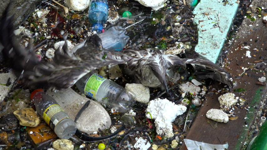 VARNA, BULGARIA - JULY 07, 2019 : A Seagull on the dirty polluted sea. Rubbish and bottles over the sea shows the sea pollution