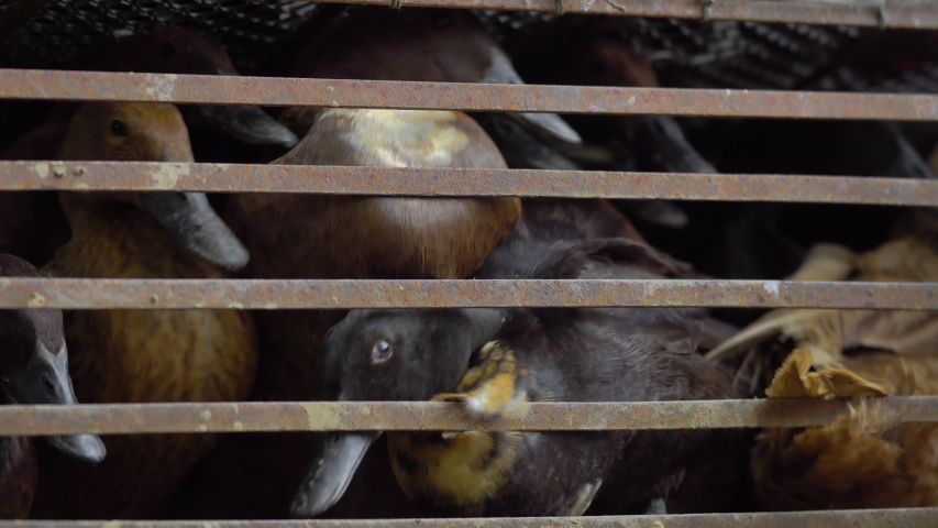 Brown ducks in a cage  | Shutterstock HD Video #1036680299