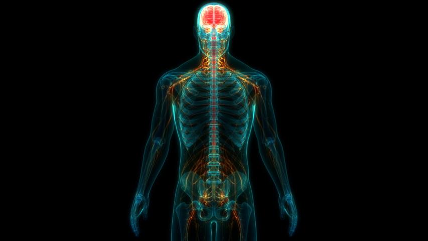 Human Central Nervous System Brain Anatomy. 3D