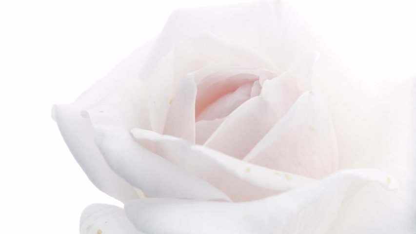 Beautiful opening White rose isolated on white background. Petals of Blooming pink rose flower open, time lapse, close-up.  Holiday, love, birthday border. Bud closeup. Macro. 4K UHD timelapse 4K UHD