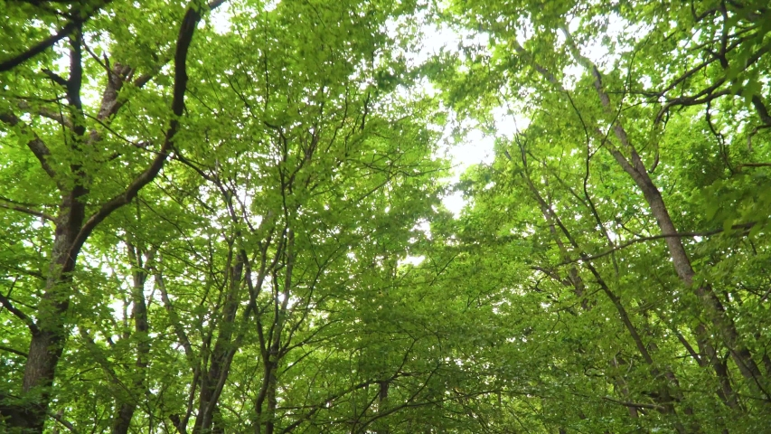 Walking into the big green forest. Under green canopy of treetops. Sun rays and long green  trees. Spring nature scene. | Shutterstock HD Video #1036739858