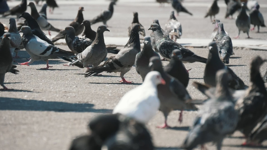 Impressive view of a large flock of white and grey pigeons, seeking food, walking and flying off on a spacious square in Athens on a sunny day in summer in slo-mo