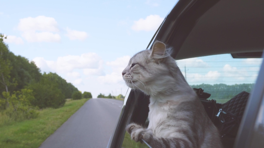 A young cat looks out the car window. Pet rides in the car. #1036791110