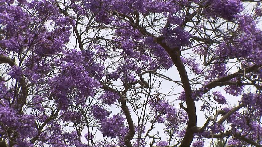Jacaranda Trees With Purple Flowers Stock Footage Video 100 Royalty Free Shutterstock