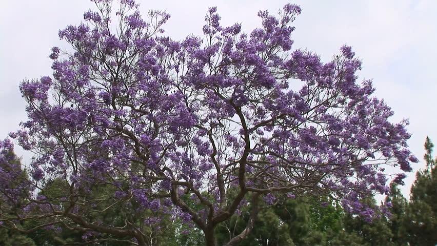 Jacaranda Trees With Purple Flowers Stock Footage Video 100