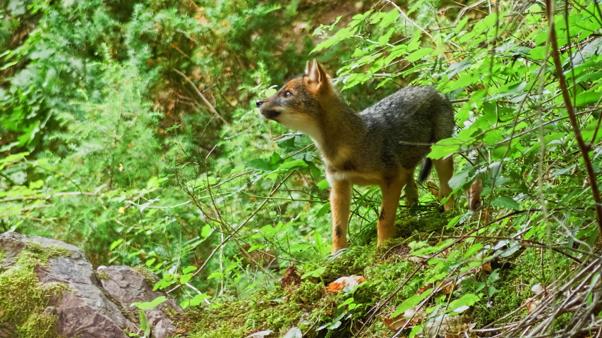 Golden Jackal (Canis aureus) Cub searching and eating bird eggs into the bushes. | Shutterstock HD Video #1036833200