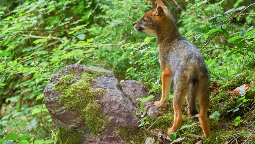 Golden Jackal (Canis aureus) Cub searching and eating bird eggs into the bushes. | Shutterstock HD Video #1036833206