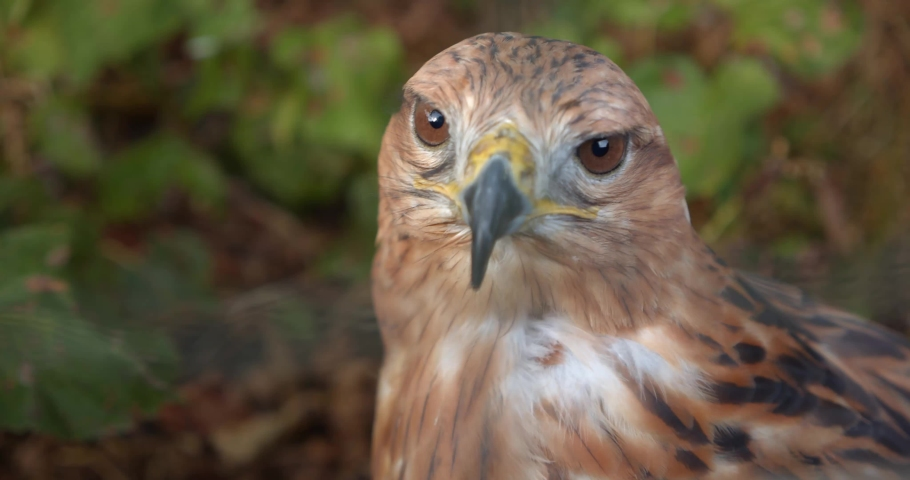 Portrait of golden eagle looks around. Close-up. | Shutterstock HD Video #1036843742