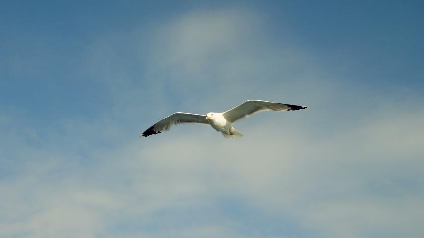 Wild birds. Seagulls flying high in sky over Mediterranean sea. Greece. 4K   Shutterstock HD Video #1036898657