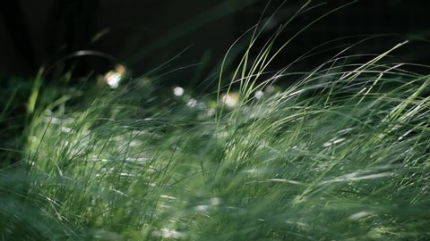 Natural meadow grass slowly swayed by wind blow. The beautiful green swaying grass field is relaxing & romantic. It waving along wind breeze. Slow motion & copy space. Green environment concept.