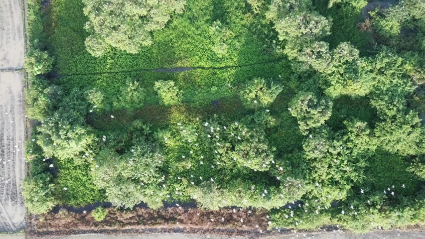 Aerial view Asian openbill fly at the top of bush at Bukit Mertajam, Penang, Malaysia.   Shutterstock HD Video #1036964006