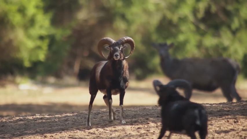 Battle mountain goats. (wild nature of Siberia)