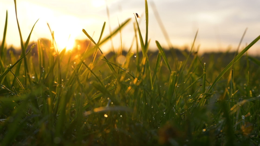 Blurry yellow sun rises above dense forest low angle shot through grass stems with transparent dew extreme close view