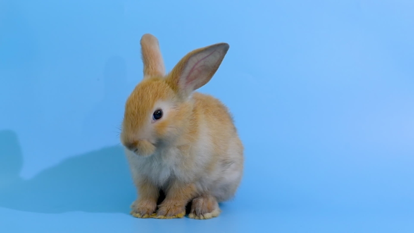 Brown little adorable bunny rabbit stand and clean its foot on blue screen background.