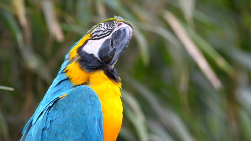 Blue and Yellow Macaw (Ara ararauna) Closeup in Iguazu Falls, Brasil - Argentina - 2 Scene Clip Pack Collection | Shutterstock HD Video #1037033132