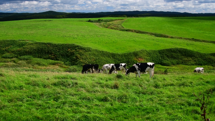 Farm landscape with cows grazing on a green meadows Toyotomitown Hokkaido,Jaoan