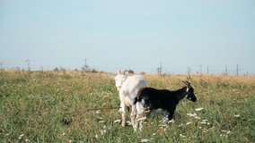 to the pasture. A herd of white and black goats hd stock footage