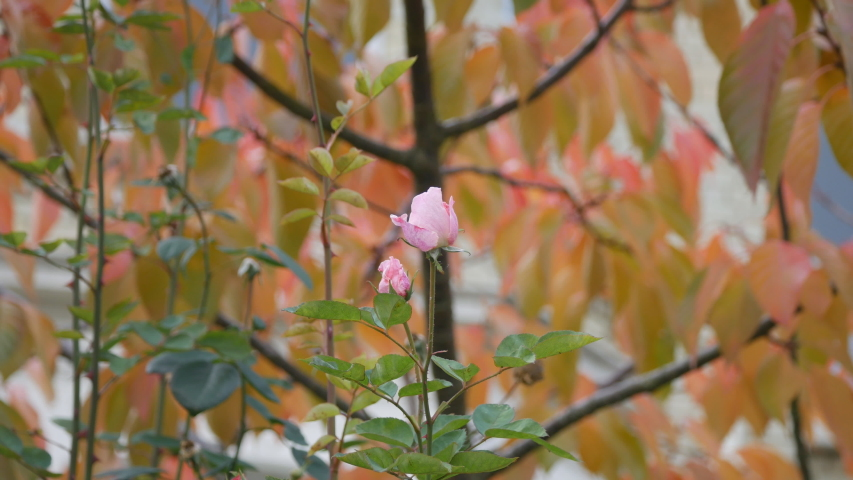 A close up view of a pink rose and autumn trees in the background. | Shutterstock HD Video #1037184965