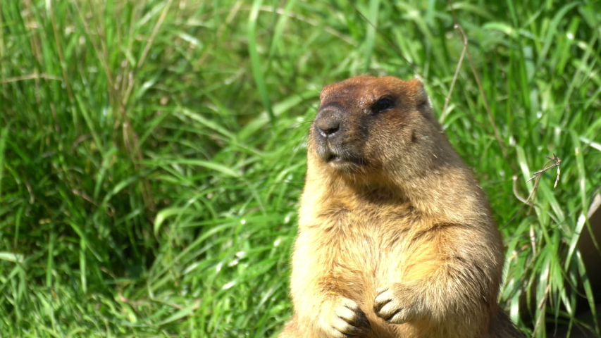 Early spring marmots wake up from hibernation. They are cute and funny animals.