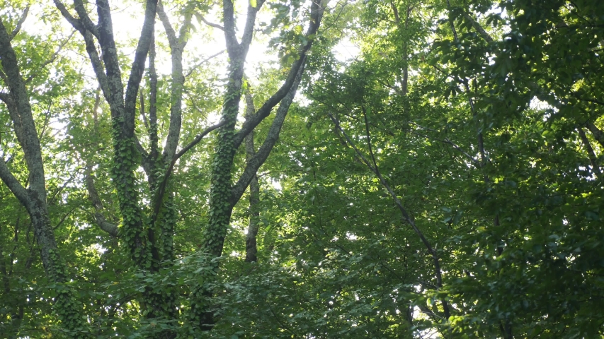 Sun glare through the foliage of trees in the summer forest | Shutterstock HD Video #1037309924