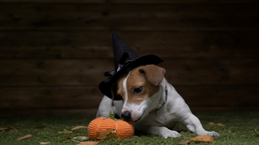 Dog Jack Russell Terrier In Witch Costume For Halloween Holiday   Shutterstock HD Video #1037372330