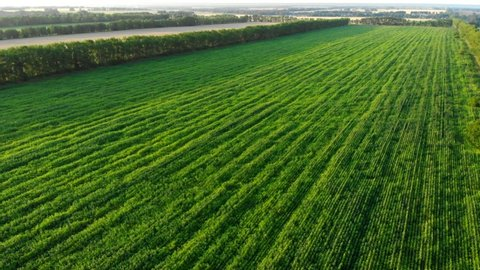 Aerial shot of green corn field at sunset. Field corn, maize grown for livestock fodder. Green cornfield, agriculture industry. Grain corn grown for livestock feed and ethanol production