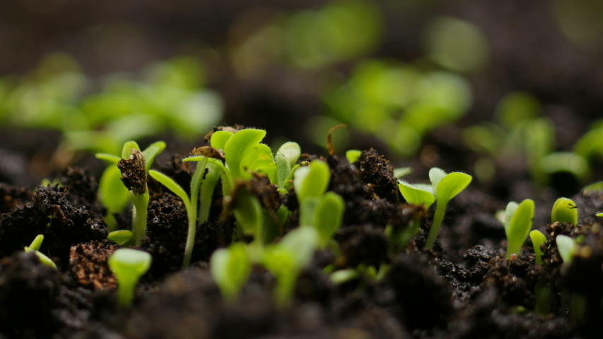 Growing plants in spring timelapse, sprouts germination newborn cress salad plant in greenhouse agriculture #1037437067