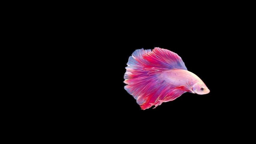 slow motion of Siamese fighting fish (Betta splendens), well known name is Plakat Thai, Betta is a species in the gourami family, which is a popular fish in the aquarium trade #1037462888