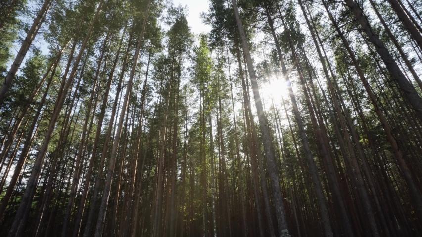 Sun Rays Shine Through Coniferous Pine Forest. Beautiful Autumn Nature | Shutterstock HD Video #1037477402