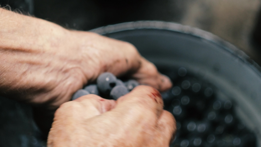 Grape harvest: senior farmer  separates grapes from a bunch in traditional way. Old winemaker
