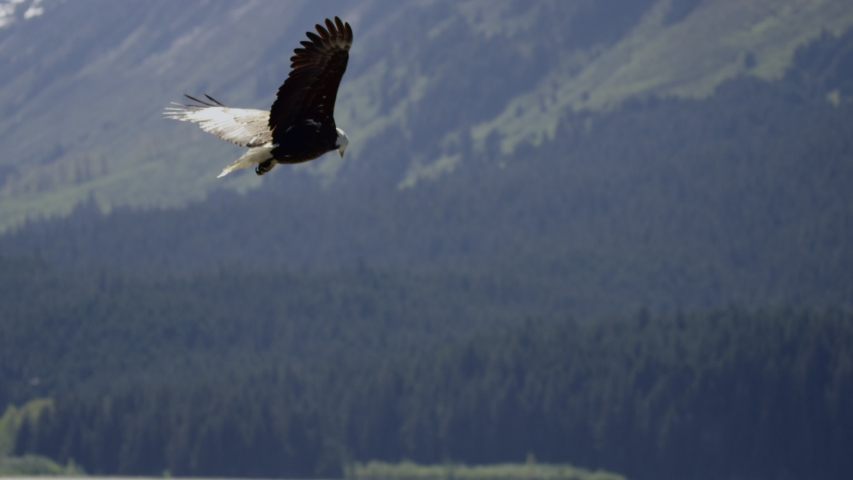 Bald eagle flying up Alaskan fjord and soaring in the wind shot in slow motion | Shutterstock HD Video #1037572874