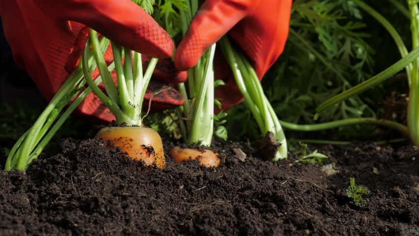 A farmer harvesting carrots. A woman gardener in red rubber gloves pulls (digging) a carrot out of the ground. Close up. | Shutterstock HD Video #1037598398