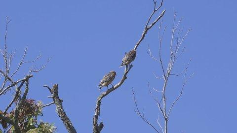 2 Hawks, briefly sharing a tree top. Medium close. 12 sec/24 fps. 40% speed.
