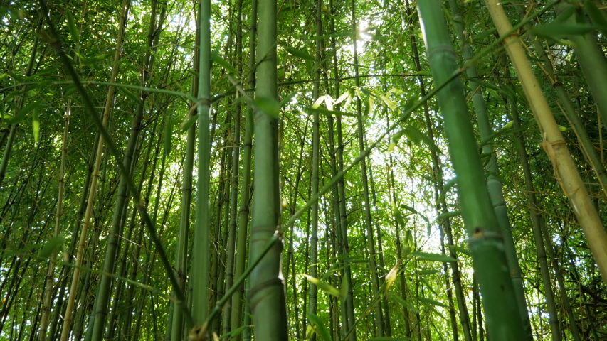 Young bamboo forest. Slow-motion video | Shutterstock HD Video #1037775815