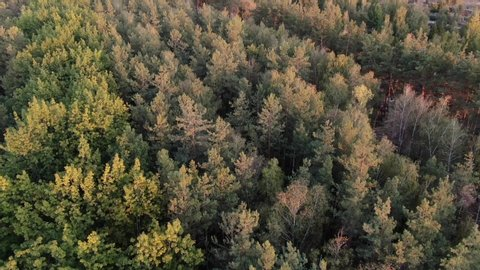drone flying over tops of pine trees beautiful autumn forest aerial footage 4K
