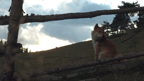 Shiba Inu dog sits on a background of large mountains. Traveling with a pet.