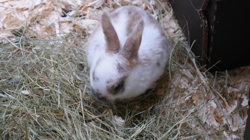 Farm animals. Baby rabbit on the floor eating hay, handheld camera shot. | Shutterstock HD Video #1037846291
