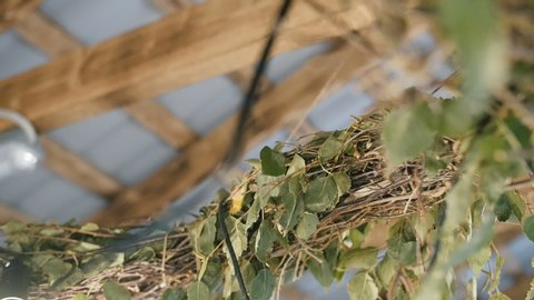 Branches of green leaves. Wooden roof. Rural house building. Green decoration. Eco life. Christmas mood. Village cab. Wooden rooftop. Organic environment. Tree under roof. Home gardening. Wildlife.